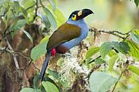 Plate-billed Mountain-Toucan (Andigena laminirostr