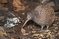North Island Brown Kiwi (Apteryx australis mantell