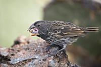 Large Ground Finch (Geospiza magnirostris) feeding