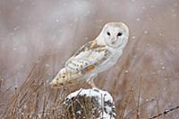 Снегопад.  Обыкновенная сипуха