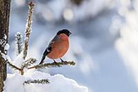 Яркий акцент. Румяный снегирь отдыхает на ветке.