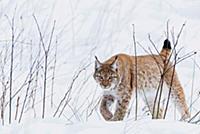 Зимний охотник. Рысь крадется в снегу.