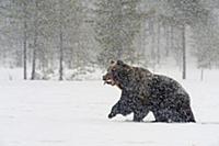Снегопад, Бурый медведь спешит в свою берлогу