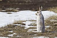 Зимняя шубка, Белохвостый Кролик на просторах цент
