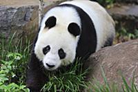 Мякгие шаги. Большая панда, бамбуковый медведь (Ai