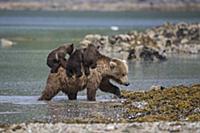 Медведица (Ursus arctos), выходящая из воды с дете
