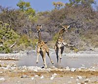 Ангольский Жираф (Giraffa giraffa angolensis). Нац