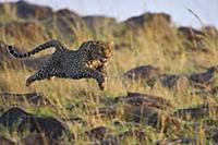Леопард (Panthera pardus), грациозно скользит над