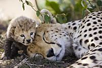 Гепард (Acinonyx jubatus). Мама и семидневный дете