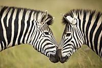 Бурчеллова зебра (Equus burchellii). Пара в угодия