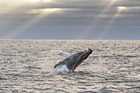 Горбатый кит (Megaptera novaeangliae), плывущий на