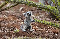 Кольцехвостый лемур (Lemur catta), малыш глядящий