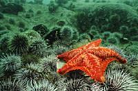 Красная морская-Звезда (Porania pulvillus) на ложе