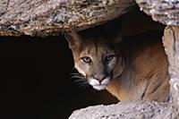Горный лев (Puma concolor), выглядывающий из пещер
