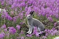 Арктический заяц (Lepus arcticus) в летнем одеянии