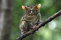 Восточный долгопят (Tarsius tarsier). Заповедник Т