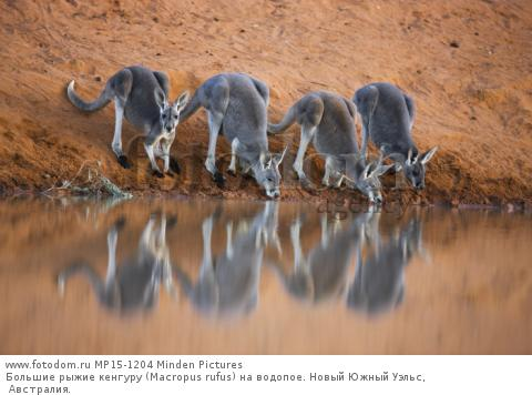 Большие рыжие кенгуру (Macropus rufus) на водопое. Новый Южный Уэльс, Австралия.