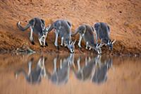 Большие рыжие кенгуру (Macropus rufus) на водопое.