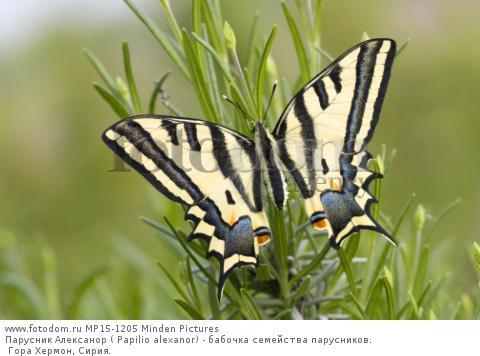 Парусник Алексанор ( Papilio alexanor) - бабочка семейства парусников. Гора Хермон, Сирия.