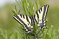 Парусник Алексанор ( Papilio alexanor) - бабочка с