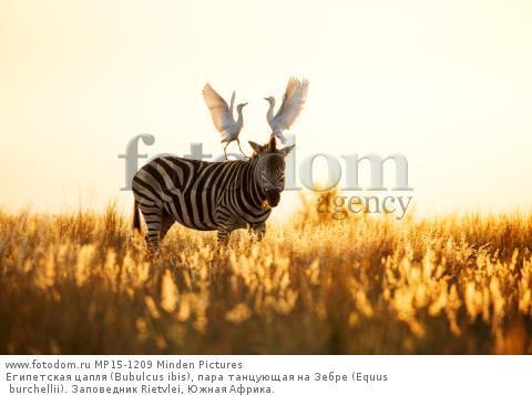 Египетская цапля (Bubulcus ibis), пара танцующая на Зебре (Equus burchellii). Заповедник Rietvlei, Южная Африка.