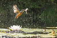 Голубой зимородок (Alcedo atthis), летящий с добыт