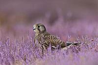 Обыкновенная пустельга (Falco tinnunculus) сидит с