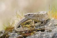 Прыткая ящерица (Lacerta agilis) сидит на камне. С