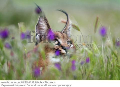 Скрытный Каракал (Caracal caracal) на цветущем лугу.