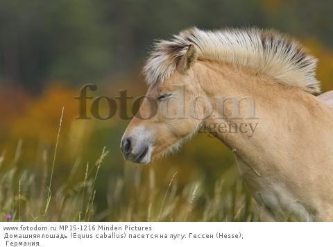 Домашняя лошадь (Equus caballus) пасется на лугу. Гессен (Hesse), Германия.
