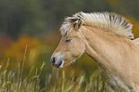 Домашняя лошадь (Equus caballus) пасется на лугу.
