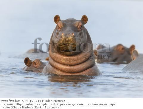 Бегемот (Hippopotamus amphibius), Утреннее купание. Национальный парк Чобе (Chobe National Park), Ботсвана.