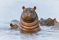 Бегемот (Hippopotamus amphibius), Утреннее купание