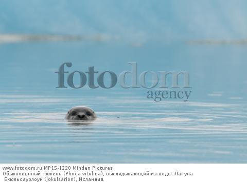 Обыкновенный тюлень (Phoca vitulina), выглядывающий из воды. Лагуна Екюльсаурлоун (Jokulsarlon), Исландия.