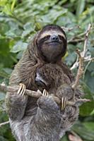 Семейство карликовых ленивцев, Панама