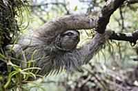 Pygmy Three-toed Sloth (Bradypus pygmaeus) climbin