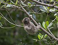 Pygmy Three-toed Sloth (Bradypus pygmaeus) four mo