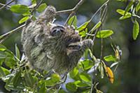 Pygmy Three-toed Sloth (Bradypus pygmaeus) mother