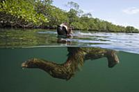 Pygmy Three-toed Sloth (Bradypus pygmaeus) swimmin