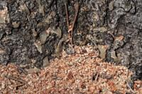 Mountain Pine Beetle (Dendroctonus ponderosae) hol