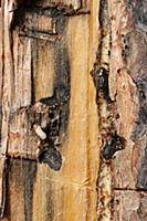 Mountain Pine Beetle (Dendroctonus ponderosae) pai
