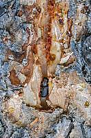 Mountain Pine Beetle (Dendroctonus ponderosae) in