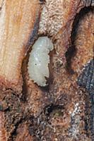 Mountain Pine Beetle (Dendroctonus ponderosae) pup