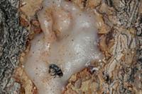 Mountain Pine Beetle (Dendroctonus ponderosae) suc