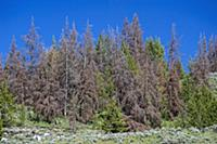Mountain Pine Beetle (Dendroctonus ponderosae) kil