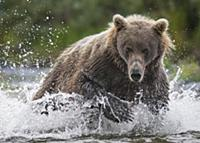 Brown Bear (Ursus arctos) chasing Chinook Salmon (