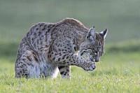 Bobcat (Lynx rufus) licking paw, Point Reyes Natio