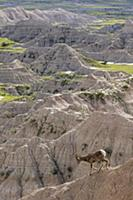 Bighorn Sheep (Ovis canadensis) ram on cliff, Badl