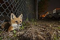 Red Fox (Vulpes vulpes) kit crossing under fence a