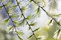 Lodgepole Pine (Larix laricina) young needles with